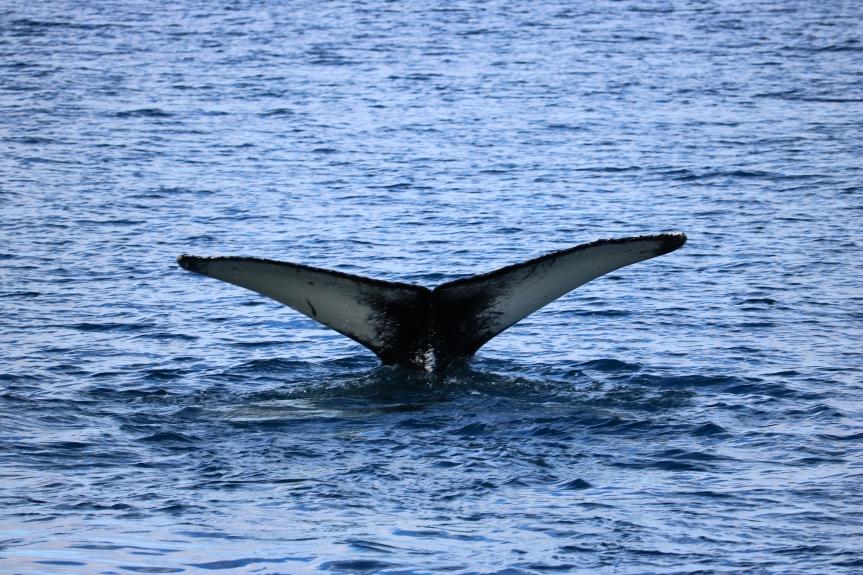 #Iceland: Humpbacks inHusavik